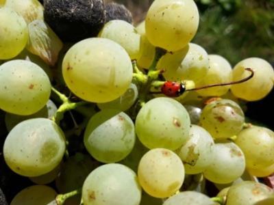 Weintrauben mit Maikäfer